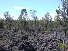 Metrosideros polymorpha regneration on young lava (J. B. Friday) Tags: metrosideros metrosiderospolymorpha myrtaceae lava ohia