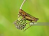 Grasshopper (Gary Chalker, Thanks for over 3,000,000. views) Tags: grasshopper insect pentaxk5 k5 sigma105mmf28exdg sigma