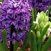 "Cincinnati – Spring Grove Cemetery & Arboretum ""Hyacinth Bulb"""