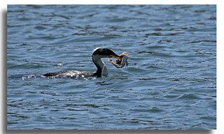 Litlle Pied Cormorant with fish