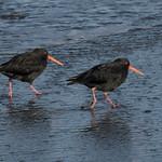 Oystercatchers thumbnail