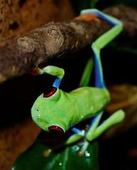 Agalychnis callidryas (Fenchurch38) Tags: grenouille rainette tropical agalychnis