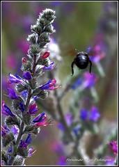 Xylocopa violacea (gjedbz) Tags: abejorro carpintero animal insecto negro parque natural moncayo volar xylocopa