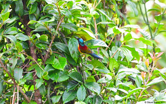 Doi Inthanon Green-tailed Sunbird (Aethopyga nipalensis angkanensis) (Steve Arena) Tags: nepalyellowbackedsunbird thailandbirding2017 thailand 2017 nikon d750 chiangmai doiinthanon doiinthanonnationalpark angkanensis aethopyganipalensisangkanensis aethopyganipalensis greentailedsunbird doiinthanongrreentailedsunbird sunbird
