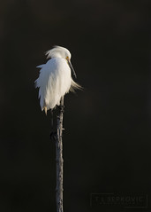 Snowy Egret (T L Sepkovic) Tags: snowyegret egret waders waterbirds dramatic canon 5dmkiv birds wildlife avianphotography