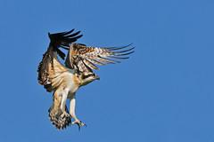 OspreyLanding1 (Rich Mayer Photography) Tags: osprey ospreys bird birds avian nature wild life wildlife fly flying flight animal animals nikon