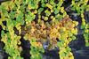 IMG_6957 (TassieJohn) Tags: tasmania australia cradlemountainlakestclairnationalpark fagus mountains fungi lakes tarns autumn colour