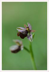 Fiore 242 (Outlaw Pete 65) Tags: macro closeup fiore flower orchidea orchid colori colours natura nature nikond600 sigma105mm collebeato lombardia italia