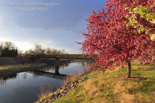Pink Flowering Crab Apple Tree Along the South Platte River Trail With Pedestrian Bridge