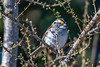 White-throated Sparrow , Bidgood's Park (frank.king2014) Tags: whitethroatedsparrow stjohns newfoundlandandlabrador canada ca