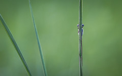 peekaboo...I see you! (Emma Varley) Tags: damselfly insect hiding grass shy peekaboo humour playful spring may westsussex southwatercountrypark