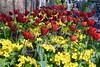 Tulip & Polyanthus (Primrose) Border, Birmingham Botanical Garden. (Manoo Mistry) Tags: nikon nikond5500 tamron tamron18270mmzoomlens birmingham birminghampostandmail englanduk westmidlands botanicalgarden birminghambotanicalgarden polyanthus flowers primrose flowerborder