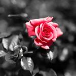 Rosa Rose 🌹 thumbnail