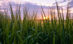 sunset (phlickrron) Tags: sunset outdoors farming sun cloud fujifilmxt20 wheat home