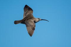 Clarke_180507_1817.jpg (www.raincoastphoto.com) Tags: sandpipersandshorebirds numeniusphaeopus birdsofbritishcolumbia birdsofnorthamerica birdsofcanada whimbrel birds britishcolumbia canada