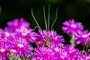 Le printemps en noir. (Bouhsina Photography) Tags: macro fleur printemps nuit violet bouhsina bouhsinaphotography canon 7dii nature maroc tetouan