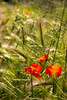 Gentil coqu'licot nouveau (Jef ALTERO) Tags: rouge fleur blé var coquelicot herbe vert ollioules champ