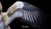 Egyptian Vulture (ToddLahman) Tags: egyptianvulture egyptian vulture bird birds wings outdoors beautiful africanloop sandiegozoosafaripark safaripark canon7dmkii canon canon100400 closeup