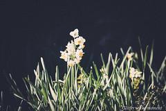 2017 01 07 - 134330 0 Canon EOS 5D Mark III (ONLINED1782A) Tags: silence after rain canon eos 5dmarkiii ef135mmf2lusm depthoffield outdoor blackbackground flower plant photo photography naturephotography2vscovsco filmcanon photographylight shadow nature park serene plants flowers