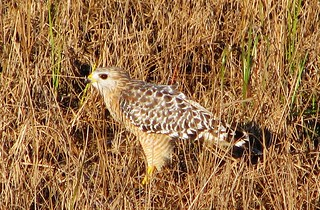 Buteo lineatus --   Red-shouldered Hawk 109