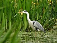 Héron cendré (chriscrst photo66) Tags: animal oiseau héron cendré eau iris