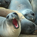sleepy elephant seals