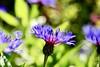 You are so delicate.... (Suncity1967) Tags: purple nature light dof bokeh fine delicate beauty spring manual df nikon vintage