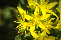 Yellow Flowers In The Sun (Modkuse) Tags: macroflowers nikonmacro macrolens macrophotography macro flower flowers yellowflowers nikon nikondslr nikond700 105mmf28nikkormacro nikon105mmf28macronikkor garden