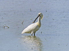 Spatola bianca  /  Platalea leucorodia / Eurasian spoonbill (Alvaro Colombo) Tags: fantasticnature national geographic wildlife coth5