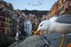 The Gull (APINTUS) Tags: seagull gul riomaggiore cinque terre unesco parco nazionale mare sea landscape costa uccello becco giallo luci panorama canon 70d 24mm antonio pintus