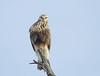 Rough legged Hawk fem (sspike@rogers.com) Tags: hawk rough legged steverossi wildlife ontario nature raptor blue sky