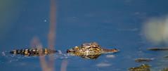 Baby Gator (ap0013) Tags: alligator baby nature animal swamp circle b bar reserve lakeland florida lakelandflorida circleb barreserve babyalligator