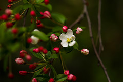 Tree Buds and Blossoms....6O3A9730A (dklaughman) Tags: tree blossoms primehooknwr delaware
