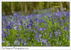 A forest of Bluebells (Paul Simpson Photography) Tags: bluebells flowers flowering petals sonya77 paulsimpsonphotography imagesof imageof photoof photosof blueflowers woodland forest england uk april2018 naturephotography