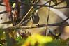 Sparrow peeking from the bushy shadows (Pearce Levrais Photography) Tags: sparrow bush plant bird colorful flower canon 7d markii spring