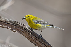 Pine Warbler with Insect (Mitch Vanbeekum Photography) Tags: pinewarbler pine warbler yellow black insect bird wild wildlife nj newjersey celeryfarm allendale canon14teleconvertermkiii canoneos1dx canonef500mmf4lisiiusm mitchvanbeekum mitchvanbeekumcom perched twig stick eating eat