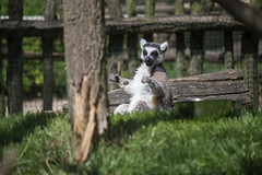 "Lemur • <a style=""font-size:0.8em;"" href=""http://www.flickr.com/photos/28630674@N06/28016376698/"" target=""_blank"">View on Flickr</a>"
