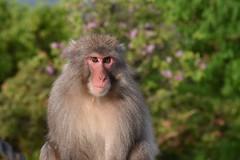 Arashiyama Monkey Park Iwatayama Kyoto Japan (PierBia) Tags: arashiyama monkey park iwatayama kyoto japan scimmia giappone nikon d810