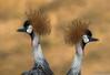 Double Header (Robert Streithorst) Tags: bird cincinnatizoo crane robertstreithorst zoosofnorthamerica