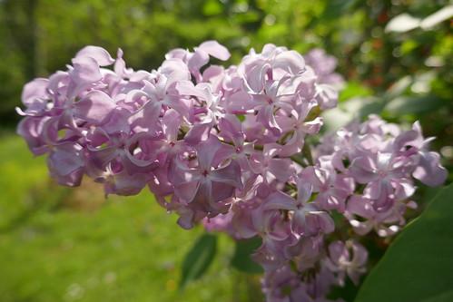 Au jardin, lilas français ou Syringa vulgaris, Bosdarros, Béarn, Pyrénées Atlantiques, Aquitaine, France.