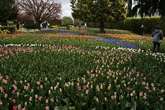 _MG_5675 (condor avenue) Tags: tulipfestival skagitvalley washington flowers colorspam skagitcounty tulipfields hyacinths daffodils spring