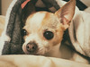 Pica Peeking 18-52 (mraderstorf) Tags: k9 chihuahua 52wfd hiding resting whisker canine brown 52weeksfordogs pica nose whiskers fur burrow hidden peeking pet burrowing ear 1852 perro dog rest white animal