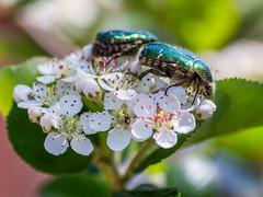 rosenkaefer (phlickrron) Tags: rosenkäfer nature outdoors macro blossom detail insect bokeh botanical