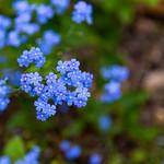 Blue Flowers thumbnail
