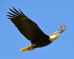 Bald Eagle Hunting (Pat's Pics36) Tags: nikond7000 nikkor18to200mmvrlens canada britishcolumbia bc abbotsford sumasprairie eagle baldeagle haliaeetusleucocephalus inflight raptor hunting