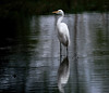 """Great egret (Millie Cruz * """"On and Off-Busy"""") Tags: greategret snow white reflection pond nature outdoors bird water tamron150600 animalplanet"""