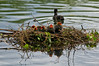 Coot Chicks (Y.Dingo) Tags: coot chicks heywood park