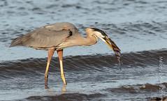 Great Blue Heron (karenmelody) Tags: animal animals ardeaherodias ardeidae bird birds coastaltexas greatblueheron heron herons pelecaniformes texas texascity usa vertebrate vertebrates