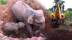 Baby and elephant mother saved from a pit by real life heroes (THE WILD ELEPHANT) Tags: huge elephant rescue video youtube quite baby funny kids videos the wild wildlife news tv