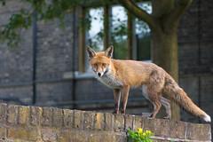 Urban Fox [Explored] (cuppyuppycake) Tags: urban fox animal wildlife nature outdoors london uk explore explored